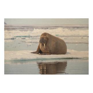 Walrus resting on ice, Norway Wood Prints