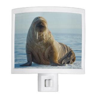 Walrus rests on summer sea ice nite lites