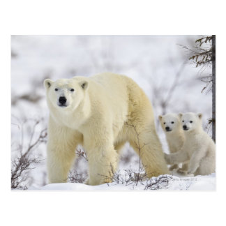 Wapusk National Park, Canada. Postcard