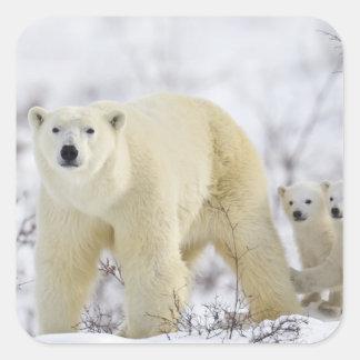 Wapusk National Park, Canada. Square Sticker