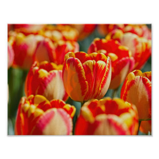 Warm Colored Tulips Poster