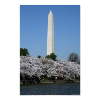 Washington DC Cherry Blossums Poster