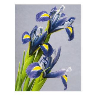 Washington, Redmond, iris pourpres Cartes Postales
