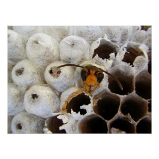 Wasp Emerging From Nest Poster