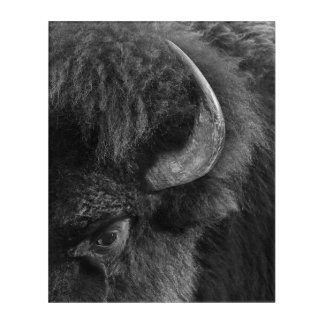 Watchful Eye of the Dominant Bull Bison Acrylic Wall Art