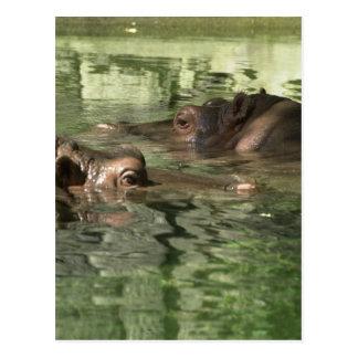Watchful Hippos Postcard