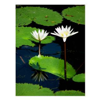 Water lillies, El Golfete, Guatemala Postcard