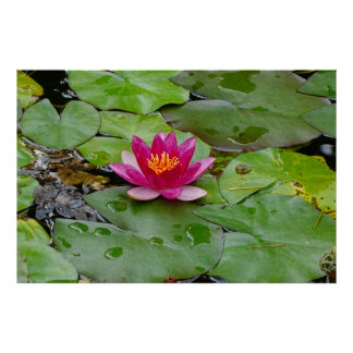 Water lily 01 poster
