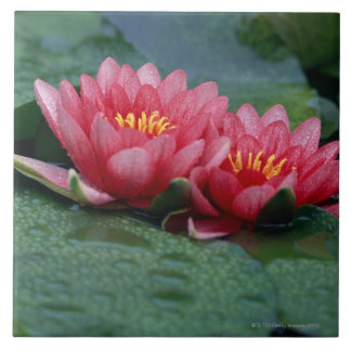 Water Lily 2 Tile