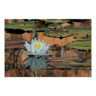 Water Lily Reflection Photo Poster Print