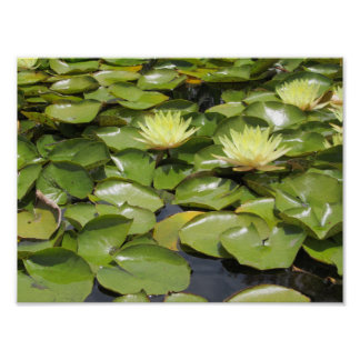 Water lily yellow in a pond poster