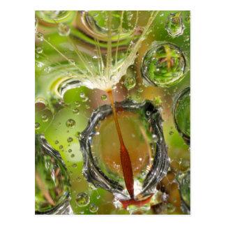Water on dandelion seed, CA Postcard