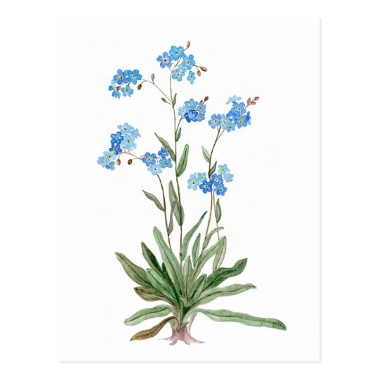 Watercolor  drawing of Forget-me-not Flower Postcard