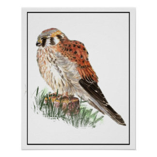 Watercolor Kestrel, Sparrow Hawk, Falcon, Bird Poster