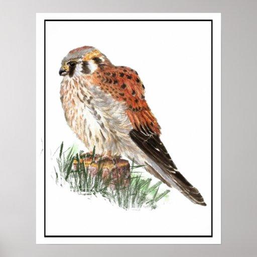 Watercolor Kestrel, Sparrow Hawk, Falcon, Bird Poster