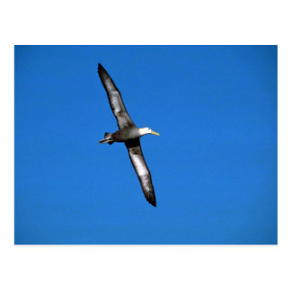 Waved Albatross In Flight Postcard