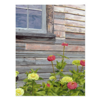 Weathered wood and Zinnias Postcard