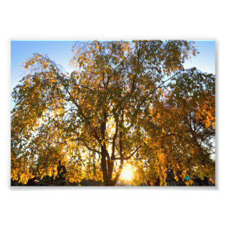 Weeping cherry tree in fall, backlit photo print