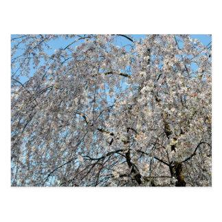 Weeping Cherry Tree: Japan Postcard