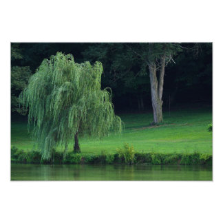 Weeping Willow Photo Print