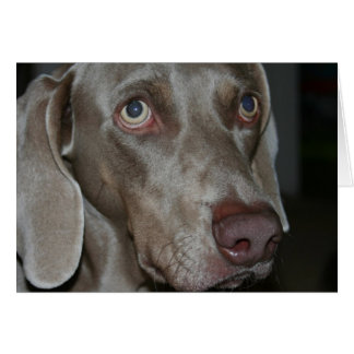 Weimaraner Dog Greeting Card