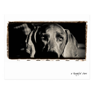"Weimaraner Nation : ""A Thoughtful Stare"" Postcard"