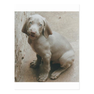 weimaraner puppy cute postcard