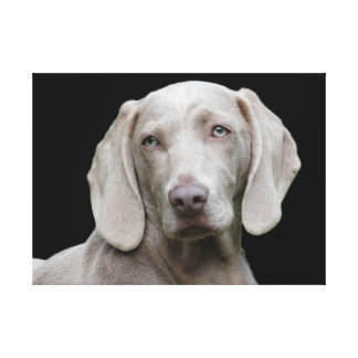 Weimaraner puppy eyes canvas print