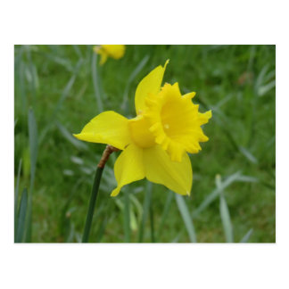 Welsh Daffodil in Bloom Postcard