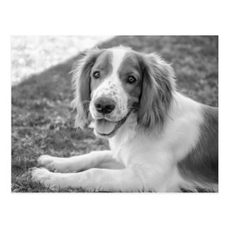 Welsh Springer Spaniel - Black & White | Postcard
