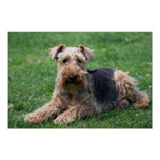 Welsh terrier dog beautiful photo print,  poster
