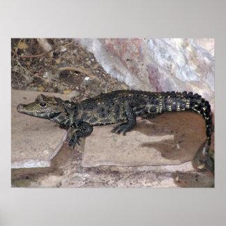 West African Dwarf Croc - Osteolaemus tetraspis Poster