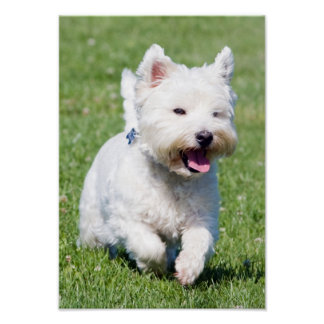 West Highland White Terrier, west dog cute photo Poster