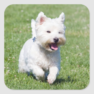 West Highland White Terrier, westie dog cute photo Square Sticker