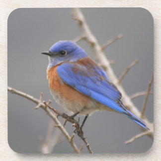 Western Bluebird Perching Coasters