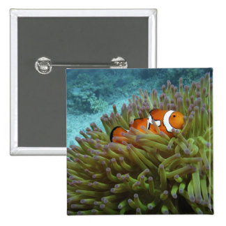 Western Clownfish ( Amphiprion ocellaris ), in 2 Inch Square Button