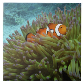 Western Clownfish ( Amphiprion ocellaris ), in Tile