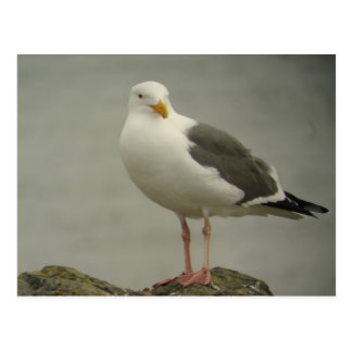 Western Gull Postcard