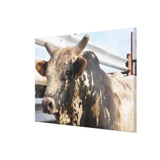 Western rodeo bucking bull canvas print