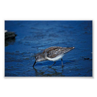 Western Sandpiper Poster