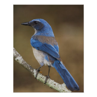 Western Scrub-Jay Aphelocoma californica Posters