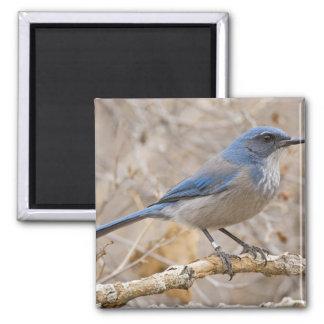 Western Scrub Jay Aphelocoma californica) Square Magnet