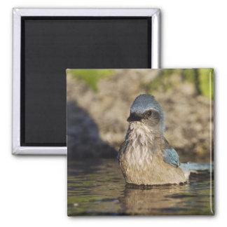 Western Scrub-Jay, Aphelocoma californica, Square Magnet