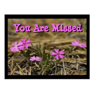 Western Showy Phlox Wildflower Postcard