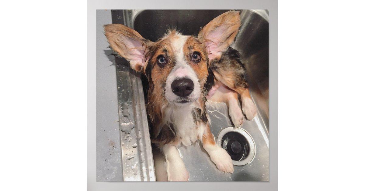 Wet Baby Corgi Puppy Poster Zazzle