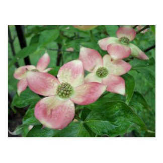 Wet Dogwood Blossoms Postcard