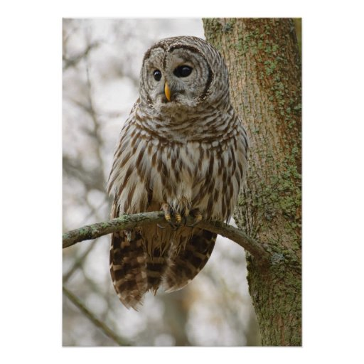 Wet Feathers Barred Owl Alert Looking for Prey Print