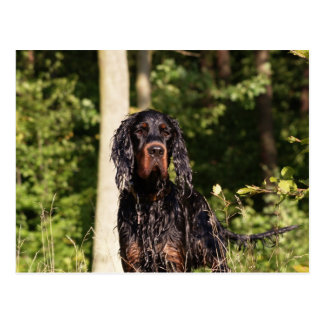 Wet Gordon Setter Postcard