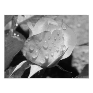 Wet Rose Black and White Poster
