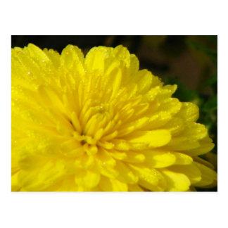 Wet Yellow Mums Postcard